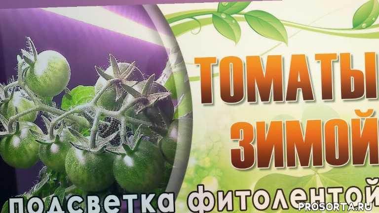 помидоры зимой, подсветка помидоров, фито-лента, фитолента, подсветка томатов, томаты зимой, огород в квартире, огород на подоконнике