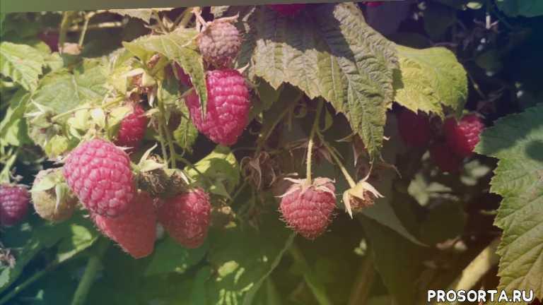 личший сорт, 2019, малина урожай, малина ягода, малина химбо топ, химбо том, саженцы, малина