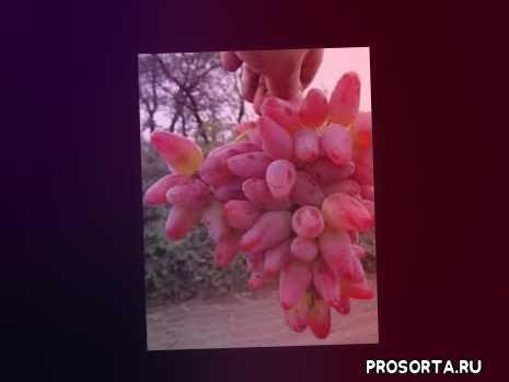 описание сорта оригинал, выращивание винограда, описание сортов винограда, сорт, сорта винограда, виноград, виноград оригинал