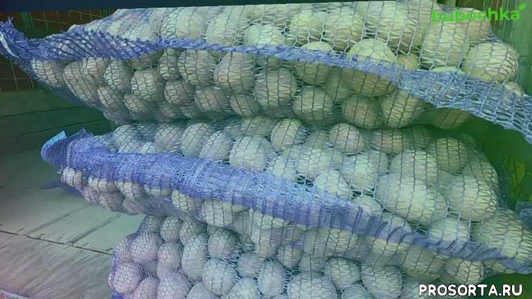 семенной картофель, картошка на посадку, картошка семенная, беллароса, беллароза