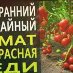 Ранний и урожайный томат Прекрасная Леди. Раннеспелый томат устойчивый к стрессам и болезням.