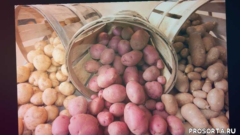 посадка картофеля, семенной картофель, семена картофеля, выращивание картофеля, посев картофеля, картофель из семян, купить картофель, огород где все растет