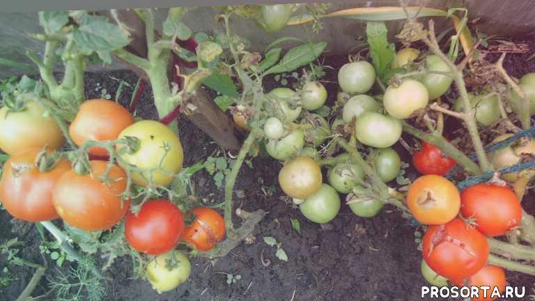 томат полюс помидоры для холодного климата томаты для короткого лета