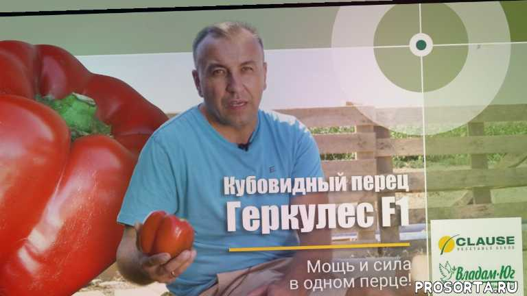 обзор семян, семена, перец геркулес f1 отзывы, перец геркулес f1 выращивание, перец геркулес f1, геркулес перец, день поля, рекорд украины по перцу