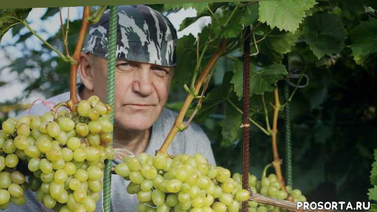 черенок, сорта, фото, северный виноград, садовый мир, виктор николаевич шадрин, как выращивать виноград, как обрезать виноград