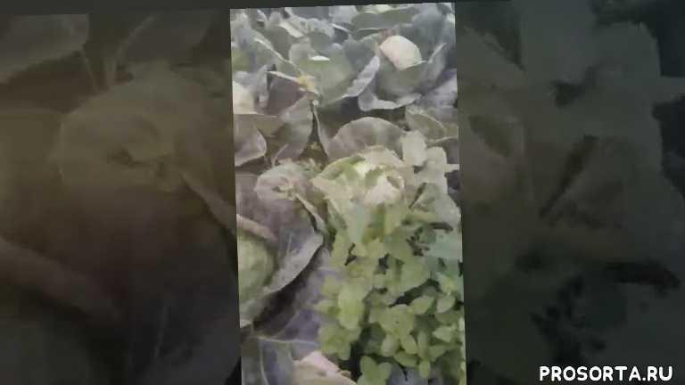 Ультраранняя капуста Элиза-F1 от компании САКАТА