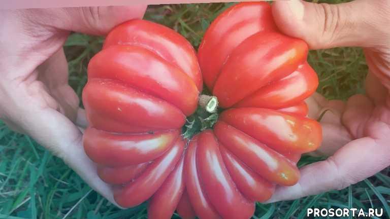 обзор томатов, сорт томатов, американские ребристые, томаты ребристые