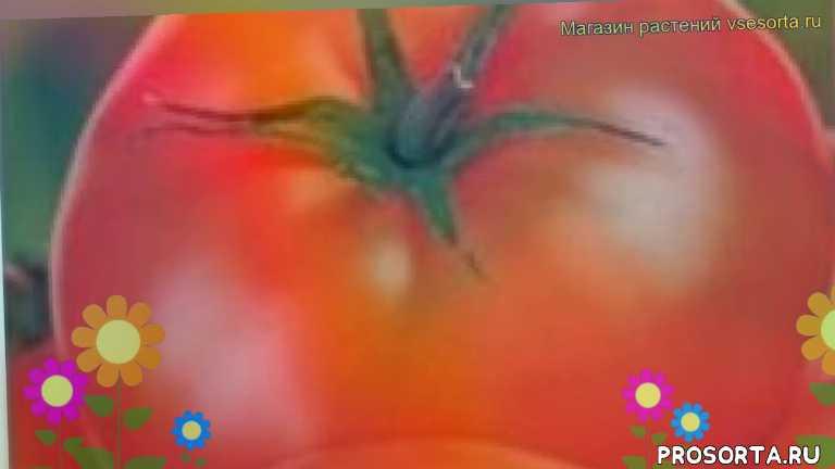 томат обыкновенный турбореактивный отзывы, где купить семена томат обыкновенный турбореактивный, купить семена томата турбореактивный, семена томат обыкновенный турбореактивный, видео томат обыкновенный турбореактивный, томат обыкновенный турбореактивный описание характеристик, краткий обзор томат обыкновенный турбореактивный, томат обыкновенный турбореактивный описание