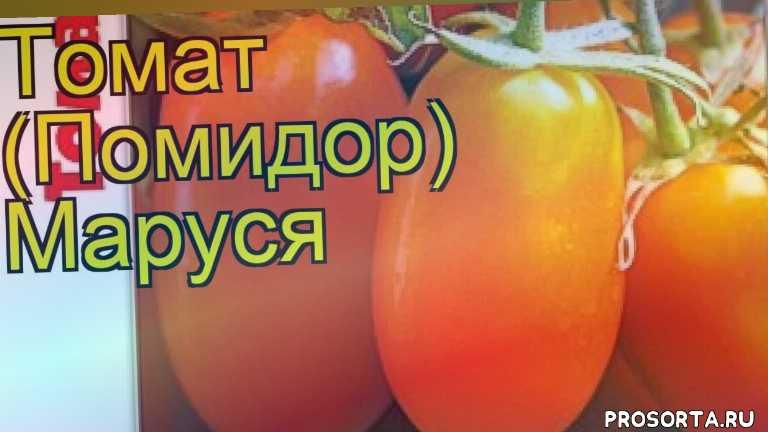 томат маруся какие растения сажают рядом, томат маруся посадка и уход, томат маруся уход, томат маруся посадка, томат маруся отзывы, где купить семена томат маруся, купить семена томата маруся, семена томат маруся