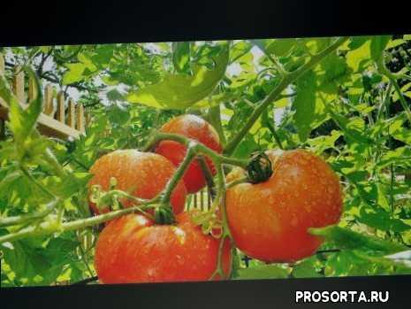 томат f1, томат, бабушкин подарок, сорт, сорт помидор, помидор, подарок, бабушкин