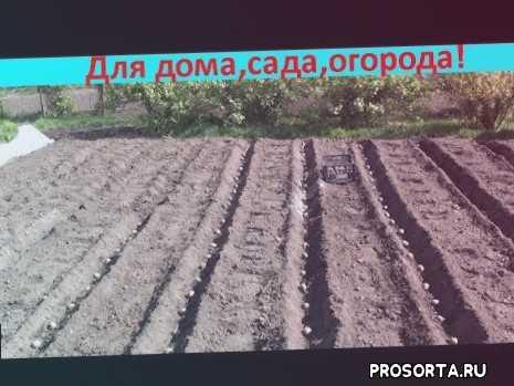 посадка картофеля, картофель