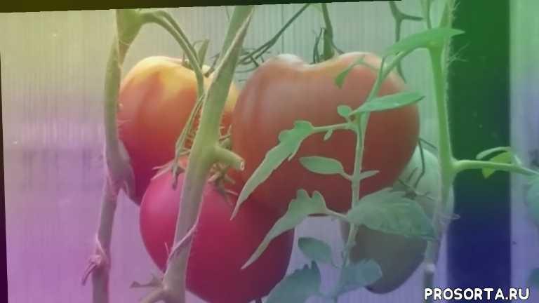 самые вкусные помидоры, розовый мед описание характеристики, лучшие томаты, самые крупные помидоры