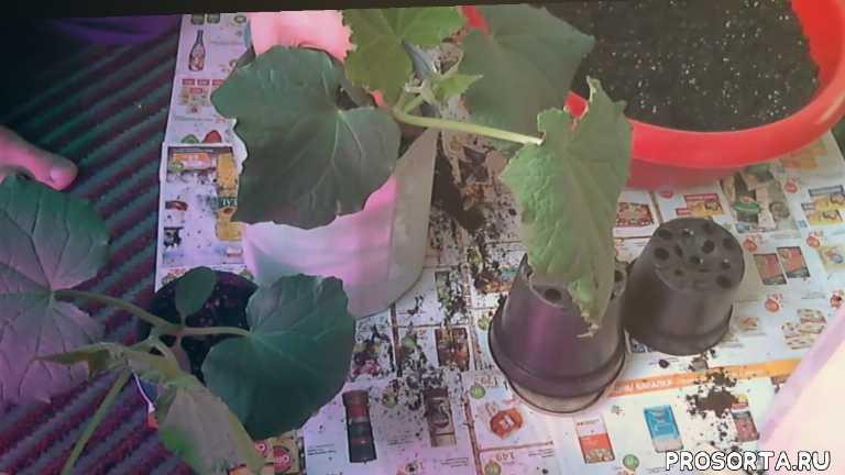 оконно-балконный сорт, выращивать огурцы, огурцы на балконе, огурцы на окне