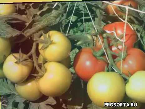 томат буян, томат энерго, томат яблонька россии, томат хлыновский, томат санька, томат майская роза, лучшие сорта томатов открытый грунт, выращивание томата открытый грунт