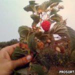 Видеообзор малины сорт Зюгана