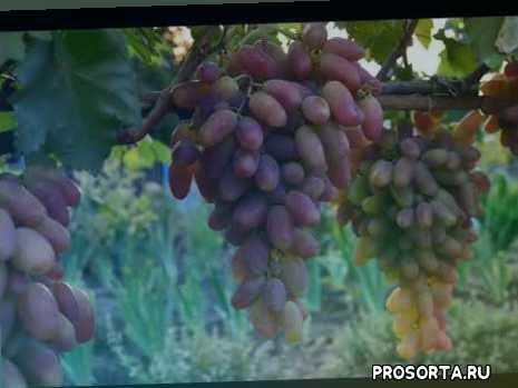 болезни винограда, обрезка винограда подкормки винограда, виноград преображение описание винограда сорта преображени посадка винограда уход за виноградом