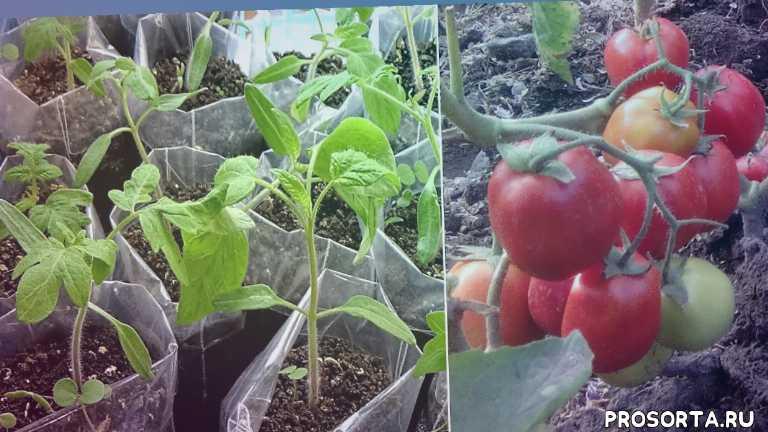 любимая усадьба, как выращивать помидоры, на подоконнике, как поливать, как вырастить томаты, выращивание, подкормка, выращивание томатов
