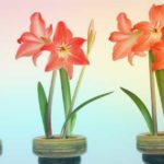 АМАРИЛЛИС БЕЛЛАДОННА – луковичное растение | Уход и разведение в домашних условиях