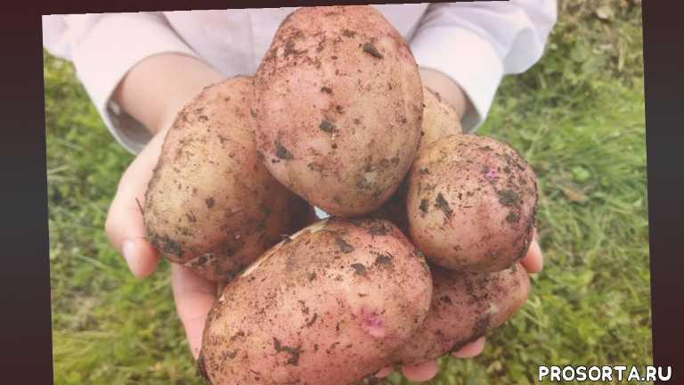подготовка картофеля к посадке, ранний картофель, как прорастить семенной картофель, картофель, выращивание суперраннего картофеля