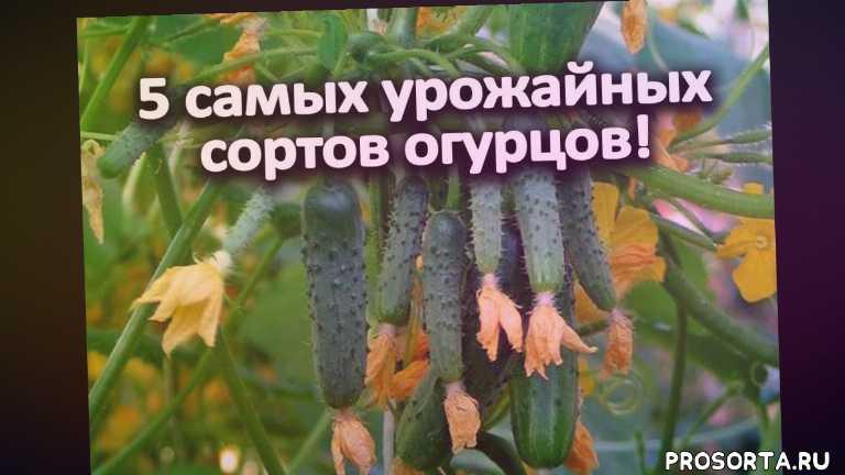 эколь огурец, амур огурец, самые урожайные огурцы для открытого грунта украина, самые урожайные огурцы отзывы, очень много огурцов, кибрия огурец, кибрия f1, самые урожайные огурцы