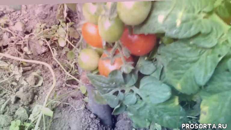 tomatoes, отлично, урожай, пиноккио, белый налив, красная шапочка, помидорв, томаты