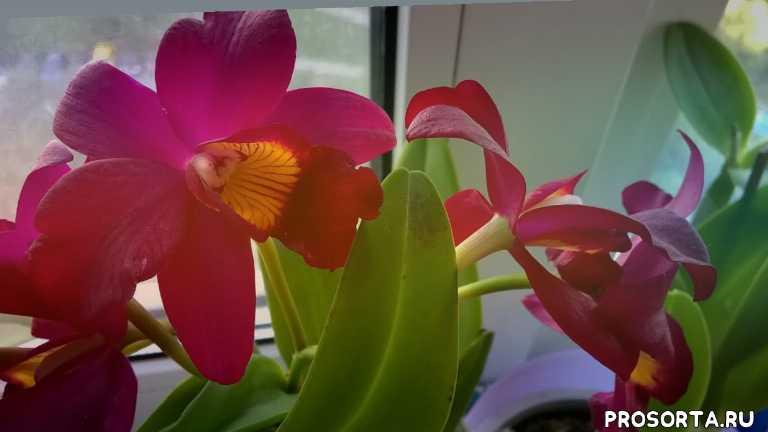орхидеи каттлеи, каттлея, орхидеи уход, успешный способ зацветания каттлеи, каттлея уход, как зацвести каттлею, как добиться цветения орхидеи каттлея