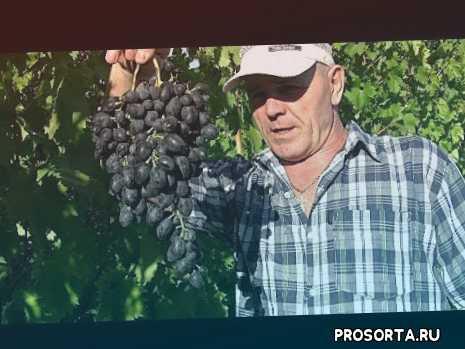 виноградник, дача, базар, рынок, урожай, виноград