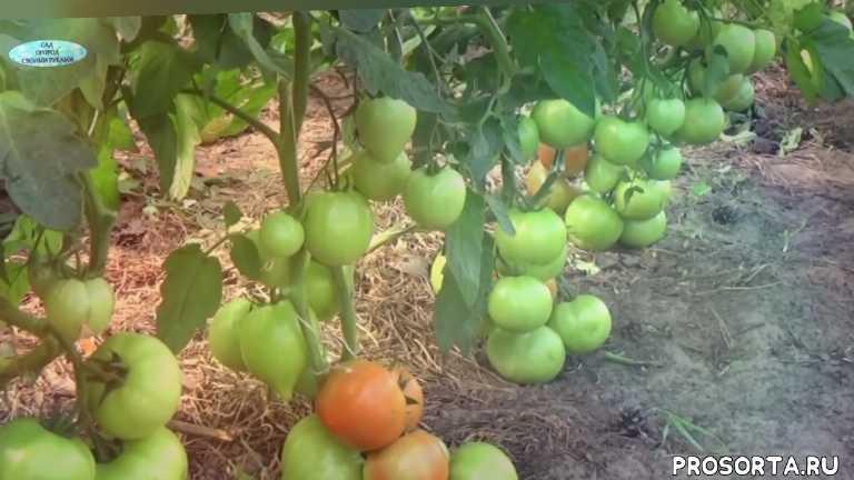 магнус, платус, инфинити, целсус, среднерослые томаты, помидоры, томаты