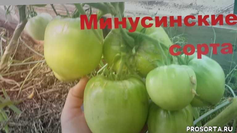 самый лучший томат, саый вусный томат, сердцевидный томат, томат для теплицы, крупноплодный томат, помидор минусинский, томат минусинский, минусинские сорта
