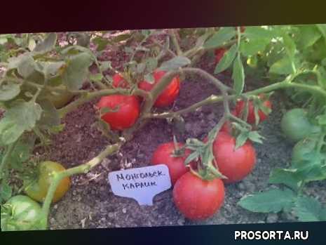томаты для теплицы и открытого грунта, неприхотливые томаты, самый низкорослый томат, описание томата монгольский карлик, монгольский карлик томат