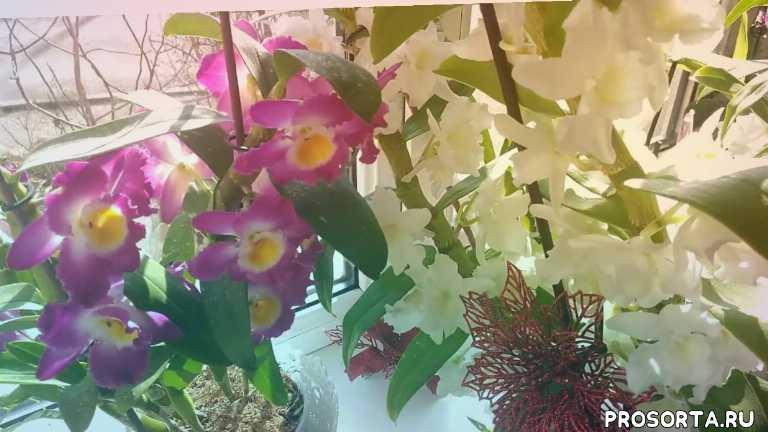 цветение дендробиума нобиле, цветение орхидеи дендробиум нобиле, как выращивать орхидею дендробиум нобиле, дендробиум нобиле мой уход, реанимация орхидей в закрытой системе, уход для новичков за орхидеей дендробиум нобиле, реанимация орхидеи дендробиум нобиле, уход за дендробиум нобиле