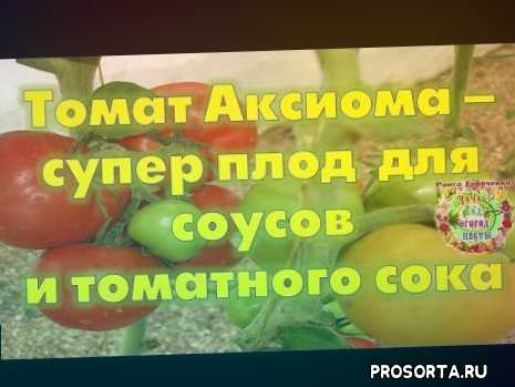 томатный сок на зиму, томаты для теплиц, удобрение, способ, чем подкормить помидоры, как вырастить томаты, томаты сорта, томаты для теплицы лучшие сорта
