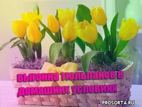 выгонка тюльпанов к 8 марта, выгонка тюльпанов, выращивание тюльпанов, тюльпаны