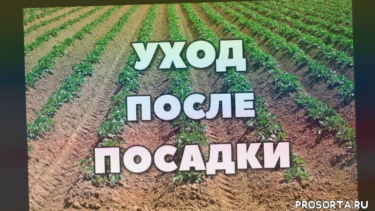однолетние сорняки, плоскорез, тяпки, великолукская гсха, аммиачная селитра, урожай картофеля, боронование, выбор дачного инвентаря
