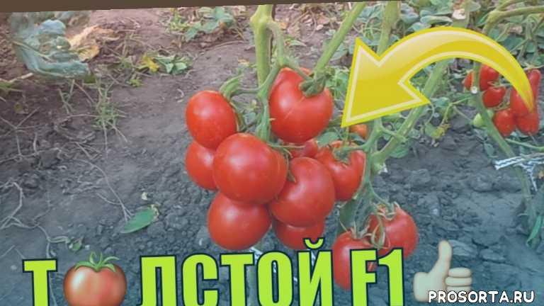 юрий гавриш, сад, толстой томат, толстой f1 гибрид, толстой f1, толстой ф1 томат, толстой ф 1, помидор толстой отзывы