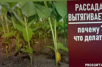 рассада перца, теплица, выращивание рассады томатов, капуста, огурцы, домашняя рассада, что делать, выращивание