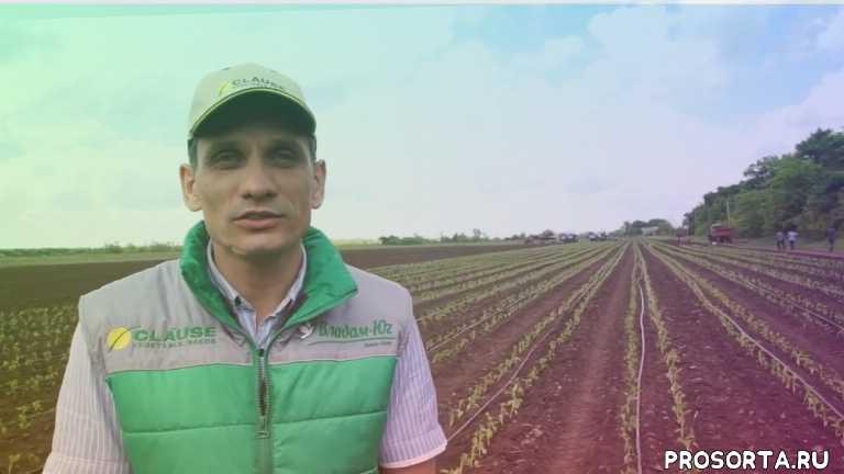 семена clause, капельное орошение на перце, семена перца сладкого, семена перца геркулес, выращивание перца видео, перец геркулес, перец выращивание