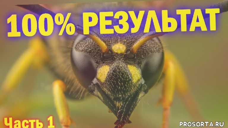 100 % результат в борьбе с осами, избавиться от ос, шершень, способы борьбы с осами, пчелы, осы на винограде, уничтожение ос, осиное гнездо