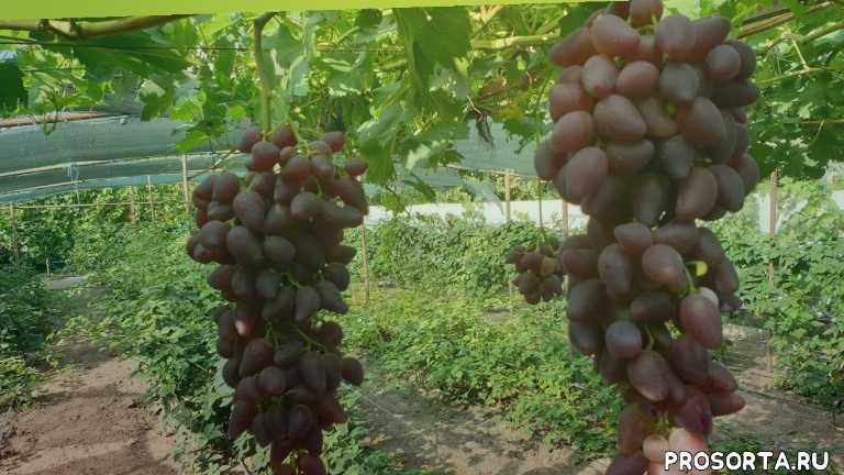 саженцы винограда, лучший сорт винограда, сорт винограла, дубовский розовый, виноградник, виноград