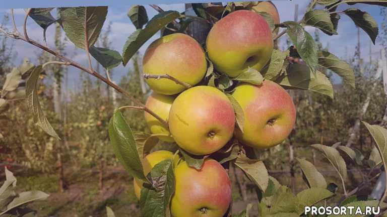 черенки для прививки, черенки, максим гаранжа, яблоневый сад, обработка яблонь, уход за яблоней, яблоня смеральда видео, сад