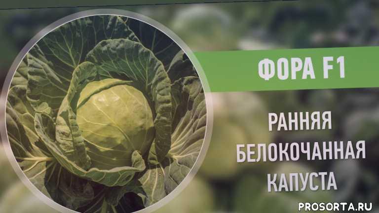 молода капуста, молодая капуста, рання капуста, ранняя капуста, рассада белокочанной капусты, гибриды капусты, сорта капусты, вирощування капусти