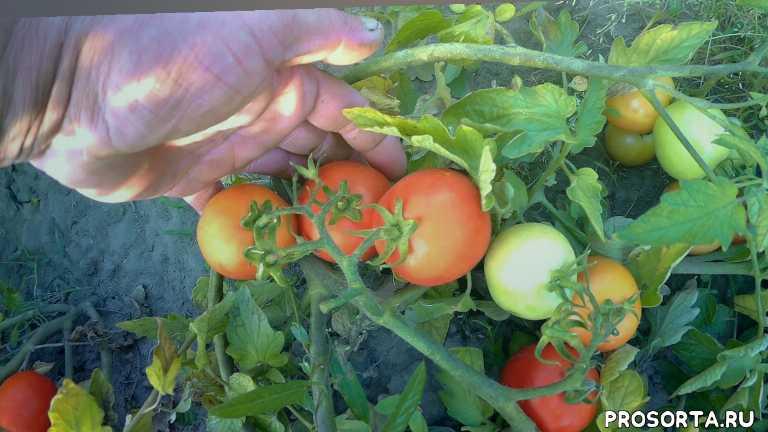 1000кг с 1-ой сотки томат помидор асвон f1