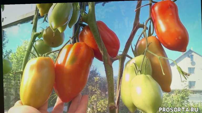 роговидный, слувовидный, красный, крупноплодный, лучшие помидоры в теплице, лучшие томаты для теплицы, помидор фото, описание сортов помидоров