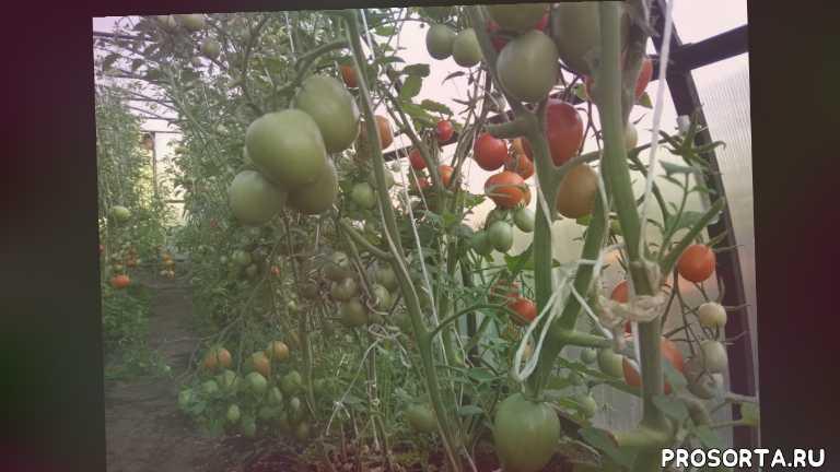 Томаты. Обзор лучших сортов томатов в теплице июль 2020 г.