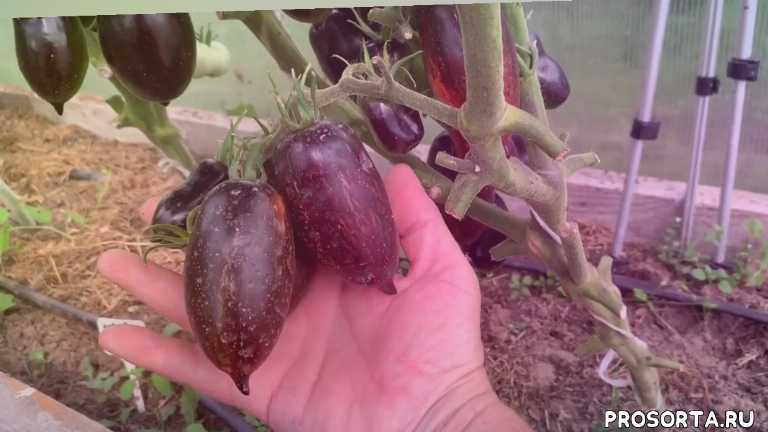 #сортвесёлыйгном, #садогород, #огород, #сельскоехозяйство, #урожай, #вкусныепомидоры, #томатыдлязаготовок, #новыйбольшойгномтомат