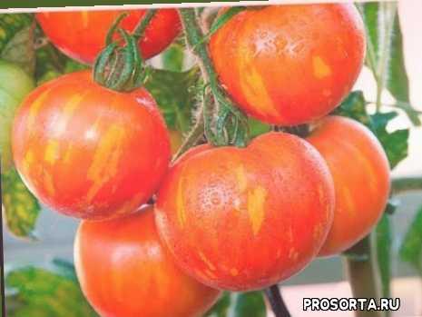 вкусные помидоры, вкусные томаты, помидоры, самые вкусные томаты, самые сладкие томаты серии вкуснотека, томаты