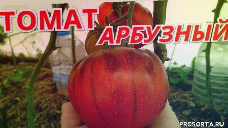 томат арбузный, крупноплодные томаты, томаты2020, томаты в июле, обзор томатов, гибриды томатов, сорта томатов, томаты в теплице