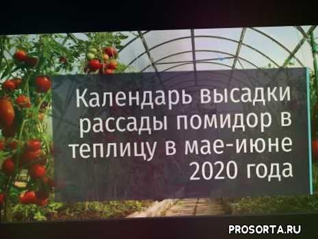рассаду в грунт, высадка томатов, высадка помидор, теплицу, высадка рассады помидор в теплицу май, календарь высадки рассады помидор в теплицу в мае 2020, высадки рассады помидор в теплицу в мае, высадка рассады помидор в теплицу в мае 2020