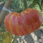 Томаты Винтейдж Вайн - обзор сорта помидоров