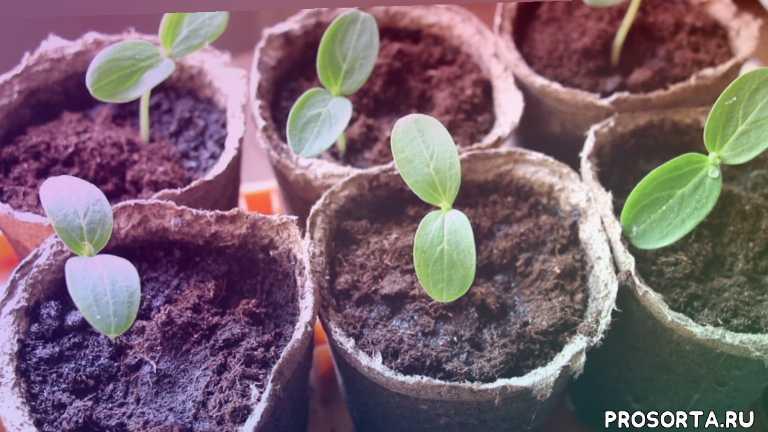 огурец, cucumber seedlings, посев семян огурца, уход за рассадой, выращивание рассады, рассада огурцов, рассада